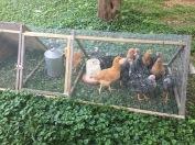 Emma's chicken's last summer